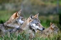 OSI.По следу альпийского Волка